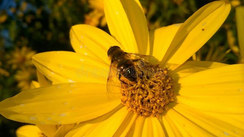 Abeille sur la fleur sauvage jaune photographie stock libre de droits