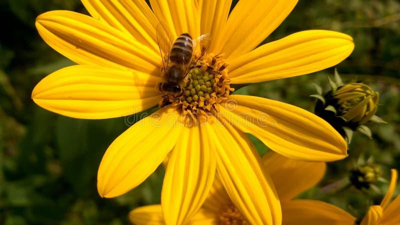 Abeille sur la fleur sauvage jaune images libres de droits