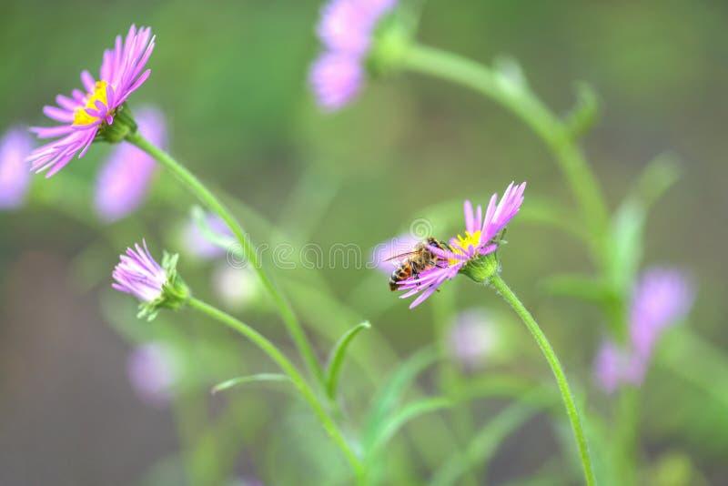 Abeille sur la fleur Un bon nombre de fleurs sauvages pourpres dans le domaine images stock