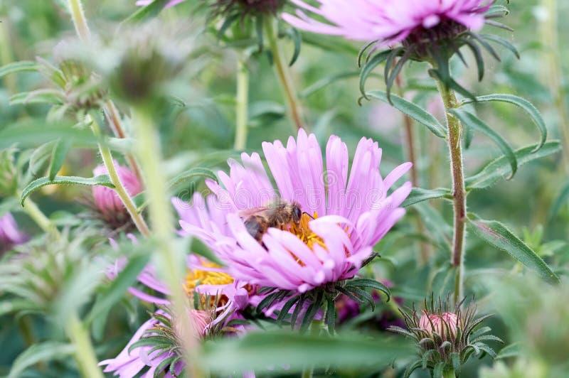 Abeille sur la fleur violette photo stock