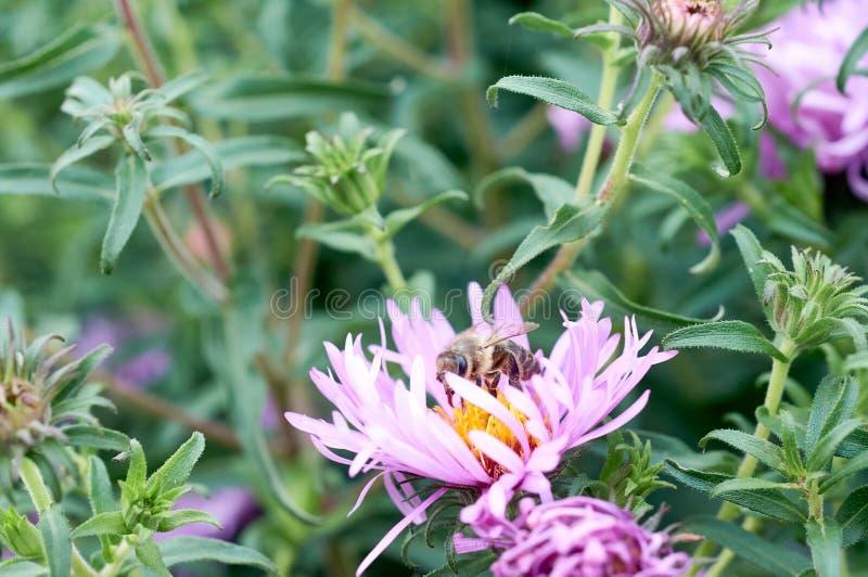 Abeille sur la fleur violette images stock