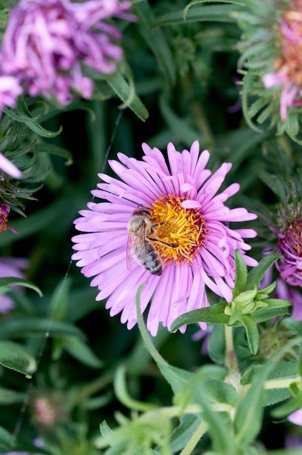 Abeille sur la fleur violette images libres de droits