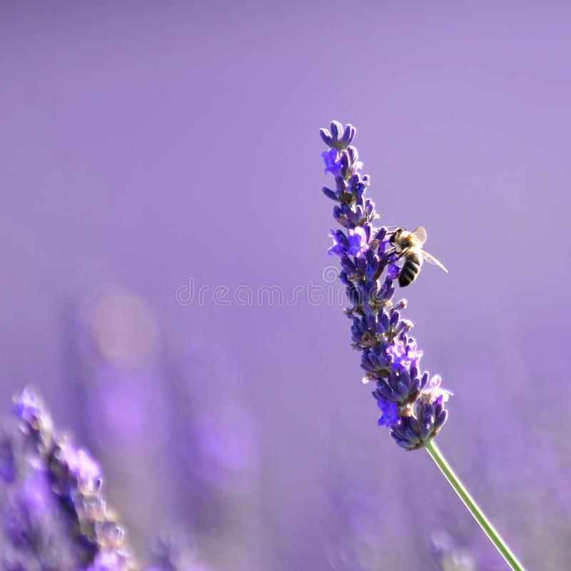 Abeille sur la lavande, Provence photos stock