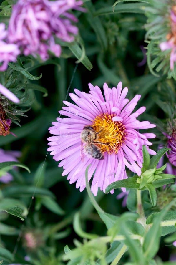 Abeille sur la moisson violette de fleur image libre de droits