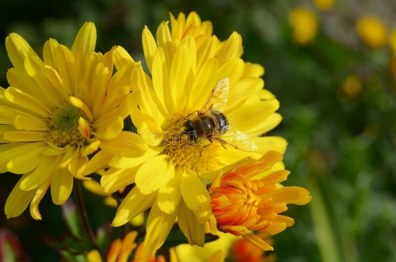 Abeille sur le chrysanthème photos stock