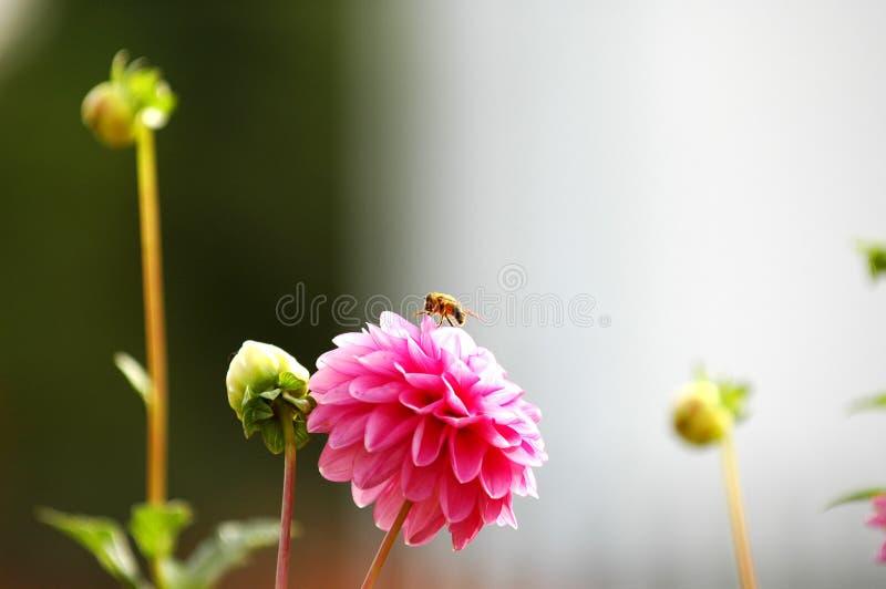 Abeille sur le dahlia rose images stock