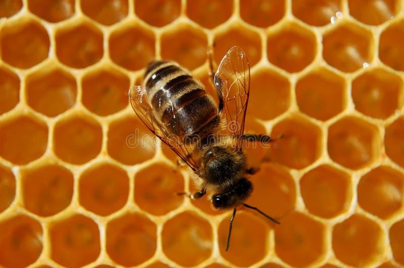Abeille sur le nid d'abeilles photo libre de droits