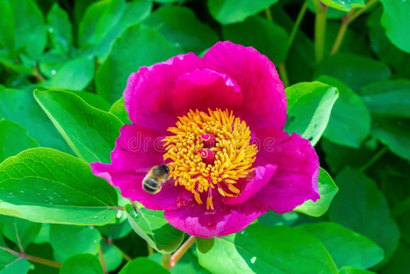 Abeille sur le plan rapproché rose simple de fleur de pionia dans le jardin sur le fond vert, macro images libres de droits
