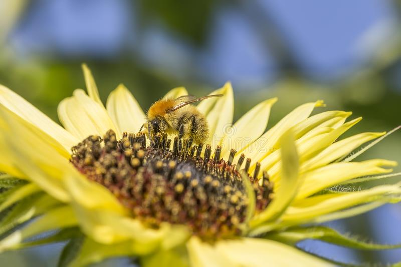 Abeille sur le tournesol abeille couverte de pollen alimentant sur le tournesol, macro tir photo stock