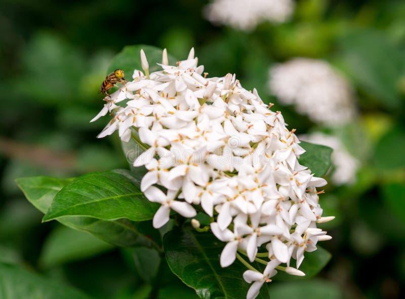 Abeille sur les fleurs blanches siamoises d'ixora photo libre de droits