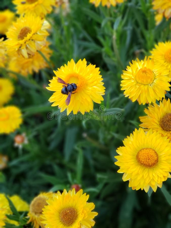 Abeille sur les fleurs jaunes images libres de droits