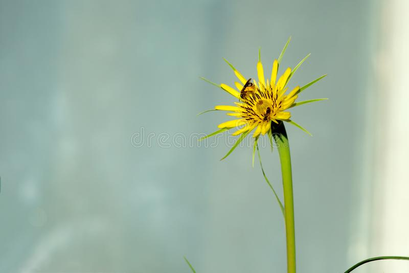 Abeille sur un pissenlit jaune, macro photo L'insecte pollinise une usine photo stock