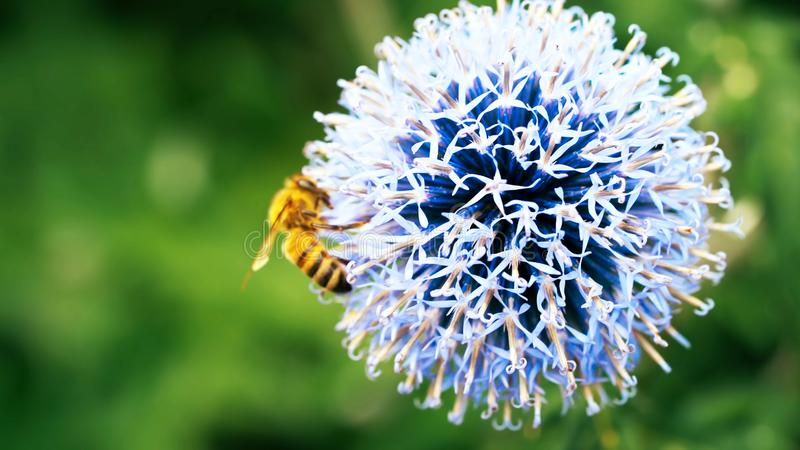 abeille sur un pissenlit - abeille sur une fleur - fleurs, fleur, floral, belle, photo stock