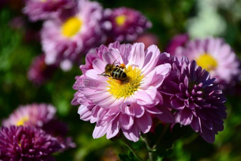 Abeille sur un plan rapproché de fleur image stock