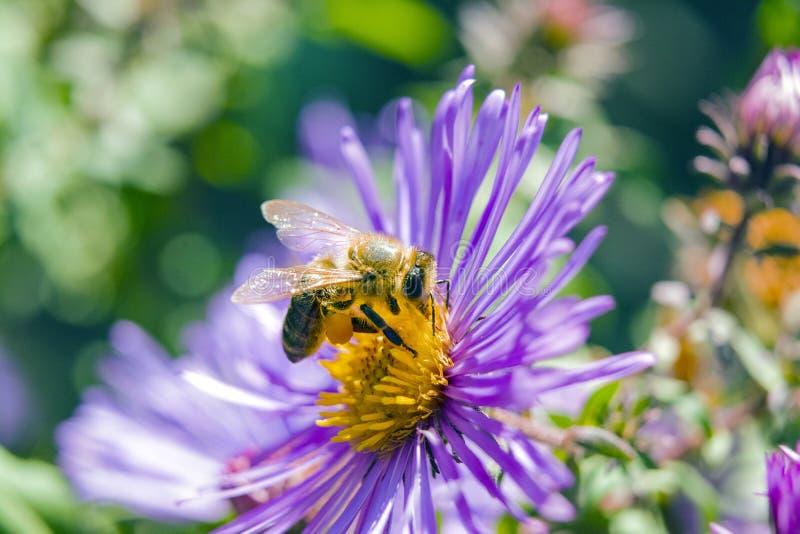 abeille sur une fin de fleur  photo stock