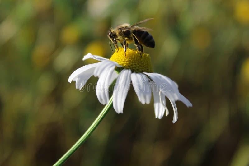 Abeille sur une fin de fleur de marguerite  Macro photographie photo libre de droits
