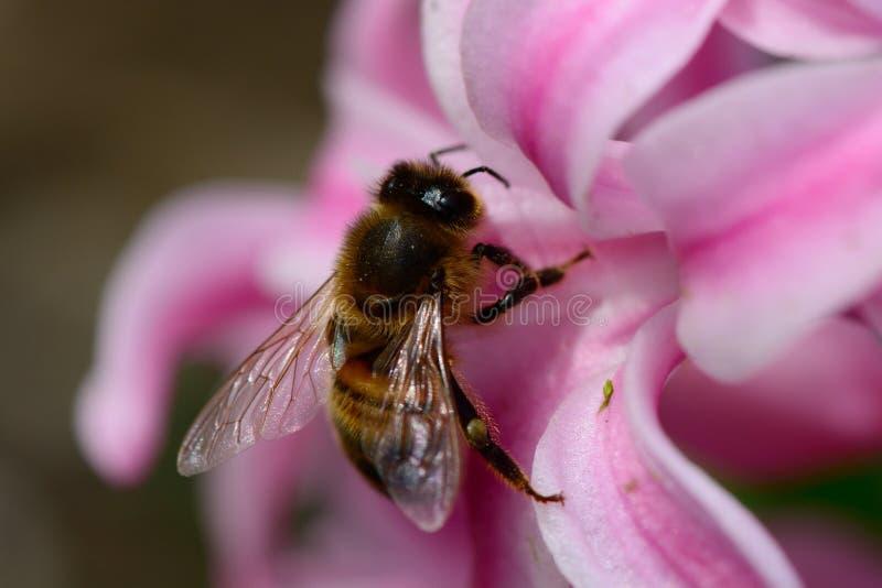 Abeille sur une fleur de jacinthe image libre de droits
