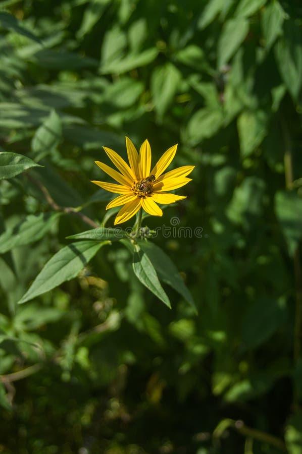 Abeille sur une fleur de jardin images stock