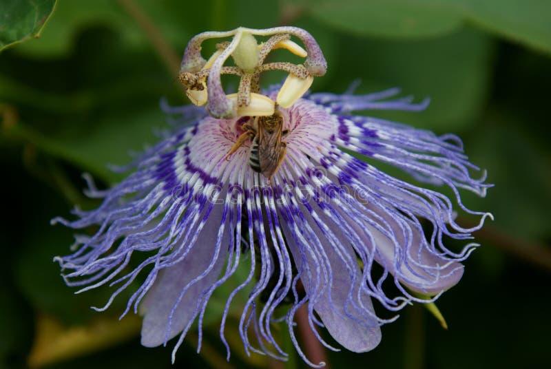 Abeille sur une fleur de passion image stock
