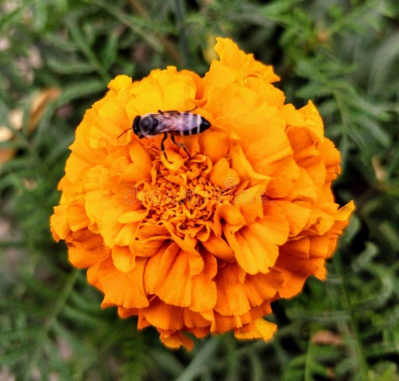 Abeille sur une fleur de souci photo stock