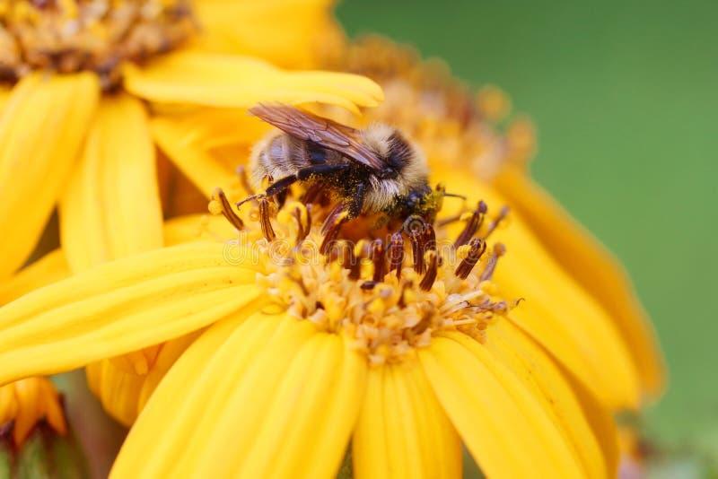 Abeille sur une fleur jaune photo libre de droits