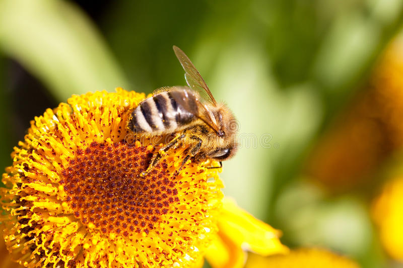 Download Abeille Sur Une Fleur Jaune Photo stock - Image du pollen, jardin: 45352304