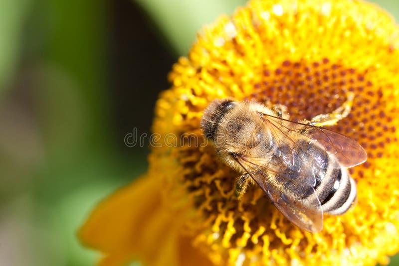 Download Abeille Sur Une Fleur Jaune Photo stock - Image du animal, floral: 45352518