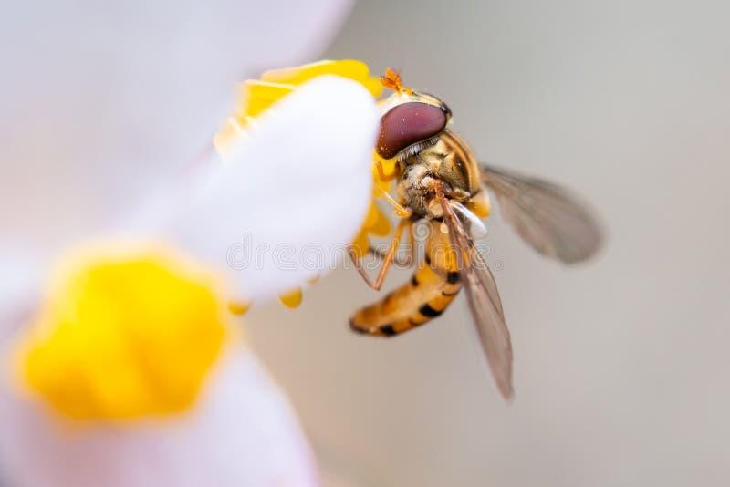 Abeille sur une fleur mangeant le pollen photographie stock