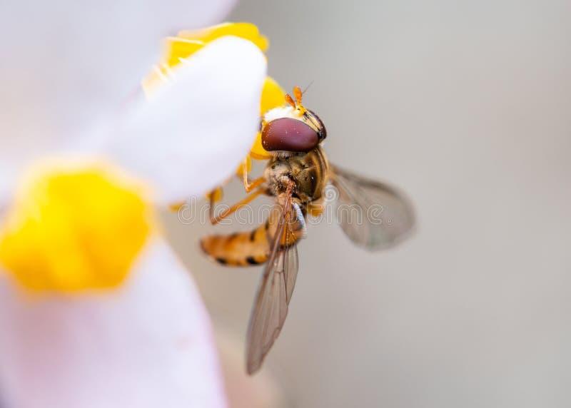 Abeille sur une fleur mangeant le pollen photos stock