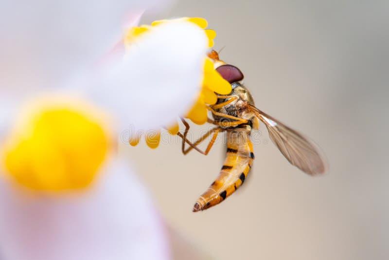 Abeille sur une fleur mangeant le pollen image libre de droits