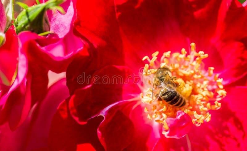 Abeille sur une rose rouge dans le jardin photographie stock