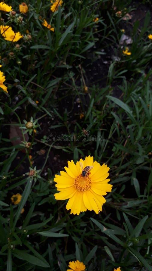 Abeille trouvant des nectars photo stock