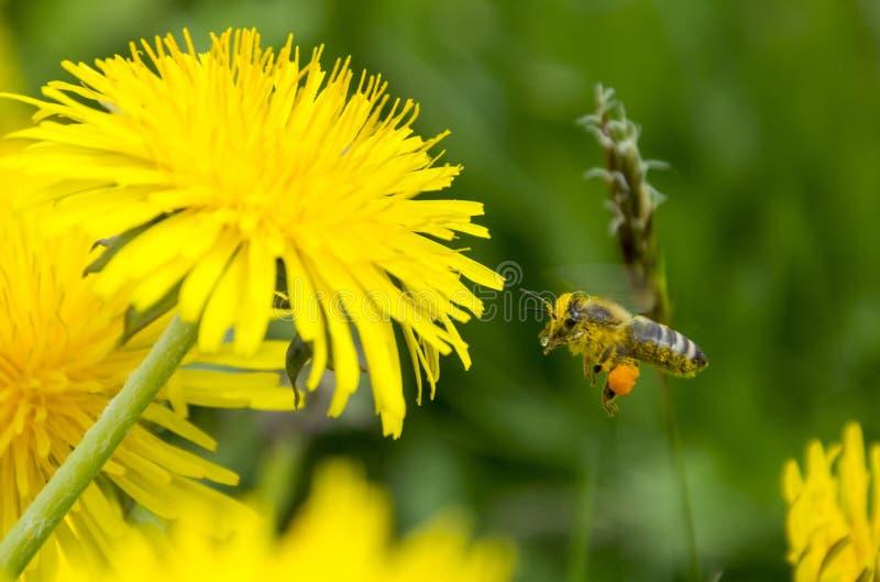 Abeille volant à la fleur de pissenlit photographie stock libre de droits