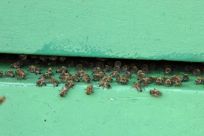Abeilles à l'entrée à une ruche photo stock