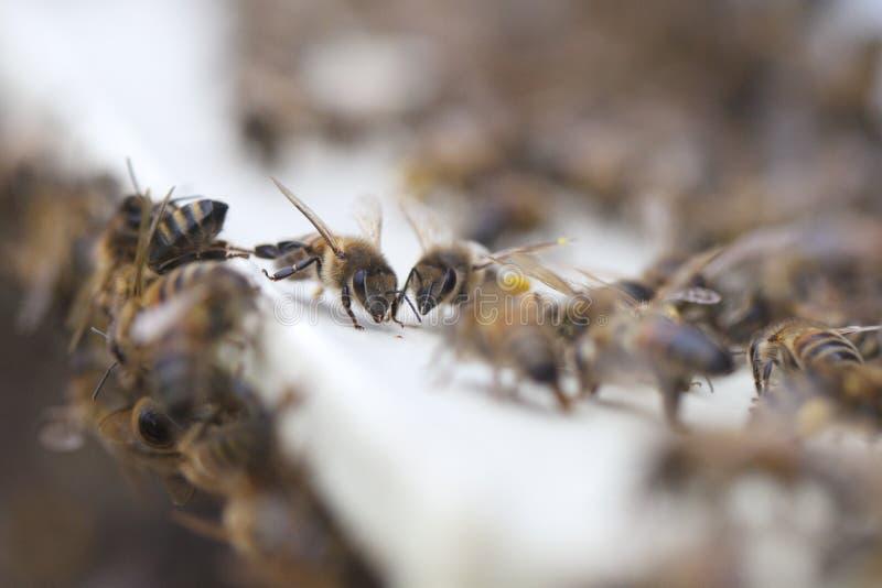 Abeilles à la ruche. photo stock