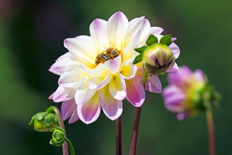 Abeilles à une fleur de fleur de dahlia photographie stock libre de droits