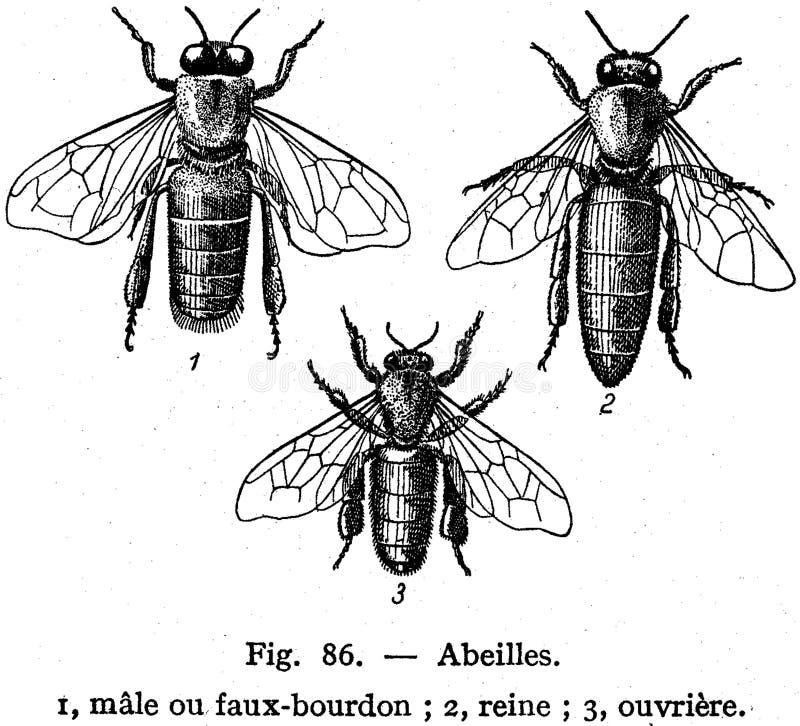 Abeilles Free Public Domain Cc0 Image