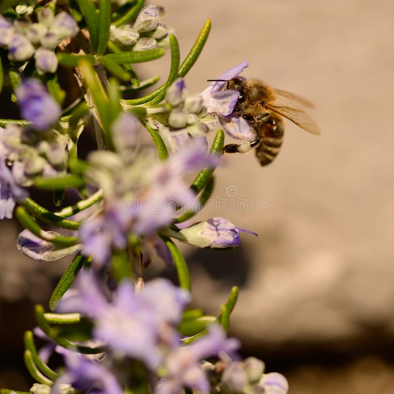 Abeilles, abeille de miel suçant le nectar et polinating sur Rosemary, fleur de Rosmarin, officinalis de Rosmarinus, avec son bea images libres de droits