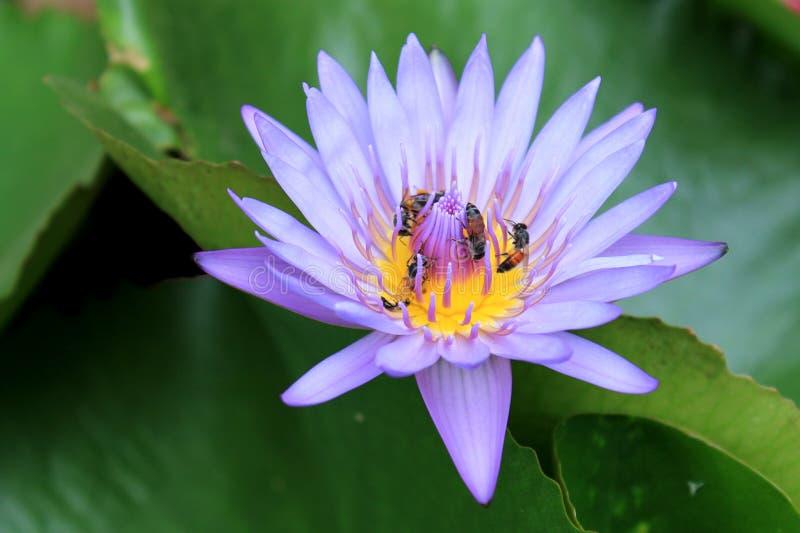 Abeilles avec le lotus photographie stock libre de droits