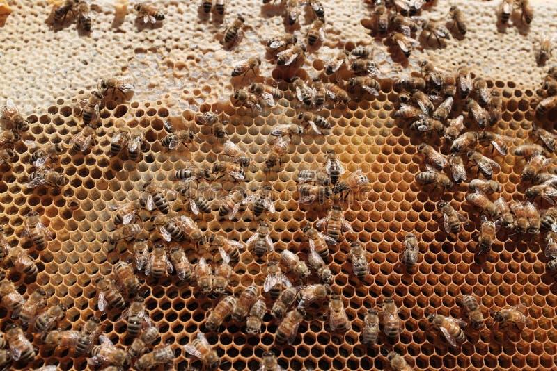 Abeilles dans une ruche photo libre de droits