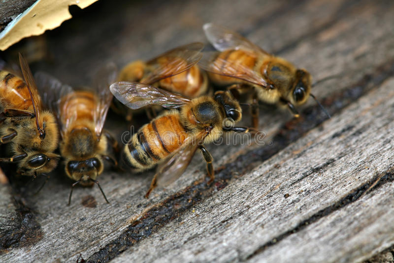 Abeilles de miel images libres de droits
