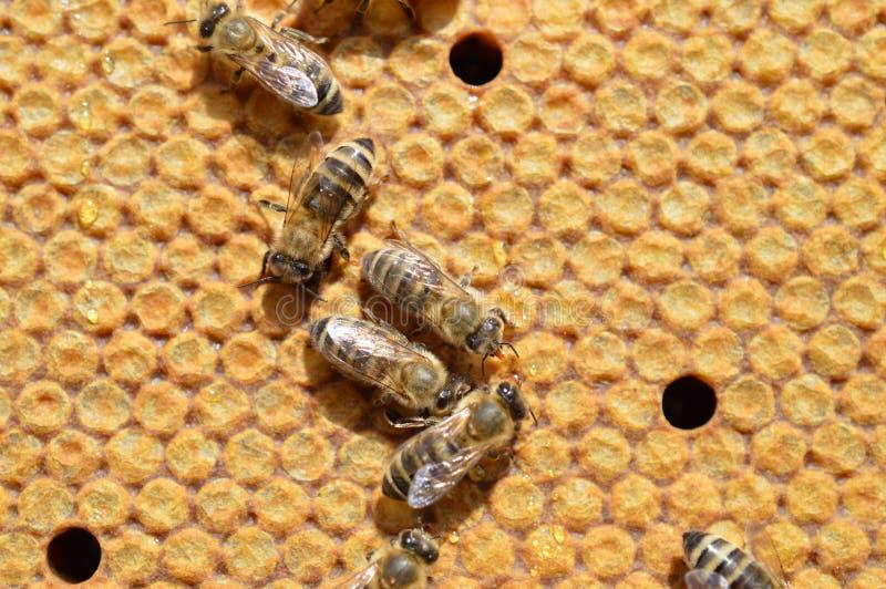 Abeilles de miel de Carnica sur des peignes image stock