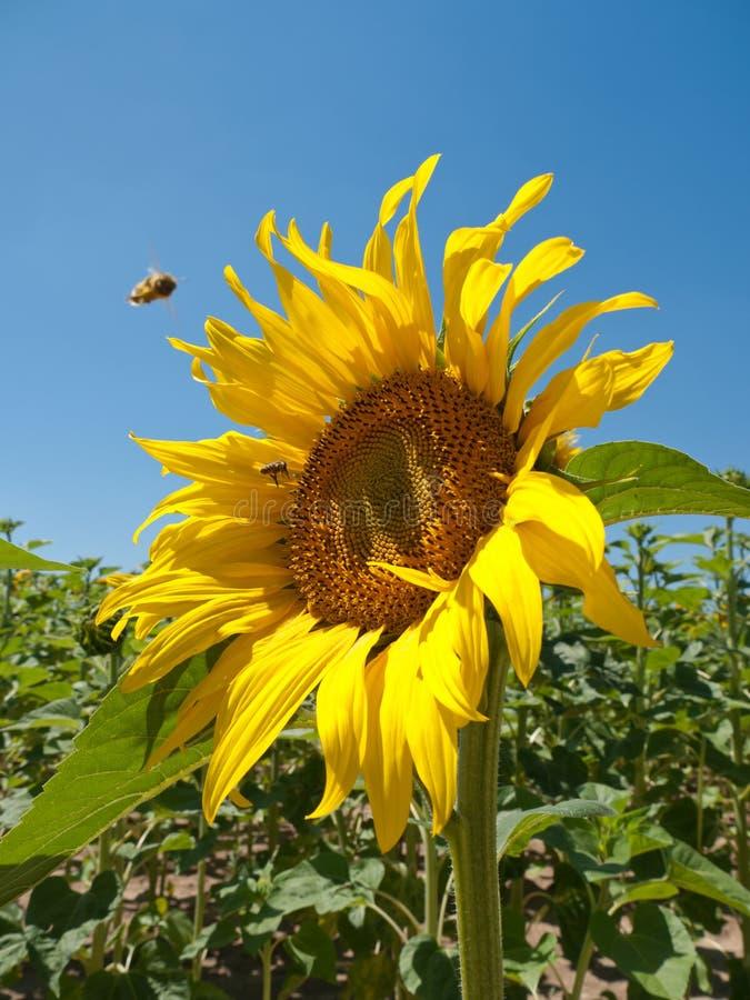 Abeilles de pollination image stock