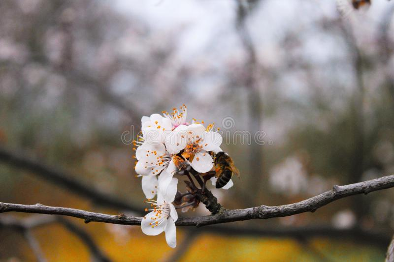 Abeilles de printemps images stock