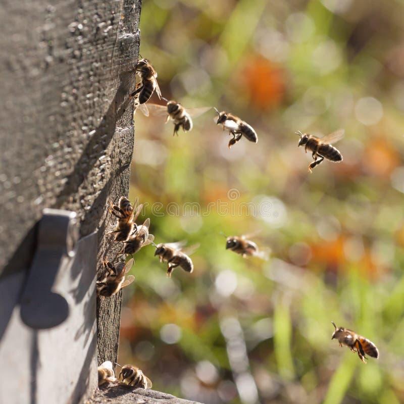 Abeilles devant la ruche images stock
