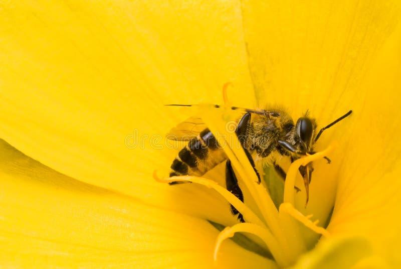 Abeilles en fleur jaune photographie stock libre de droits