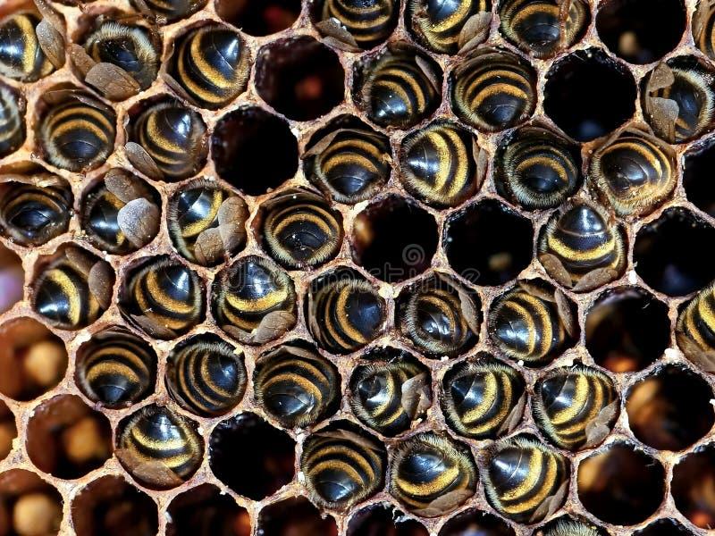 Abeilles en nids d'abeilles dans la ruche Ruche d'abeille Fond photos libres de droits