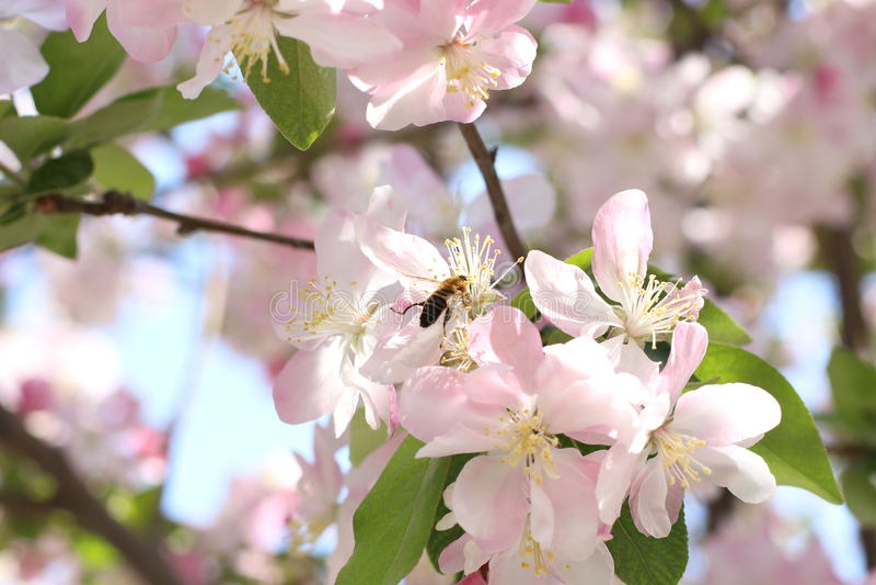 Abeilles et Begonia Flowers photographie stock