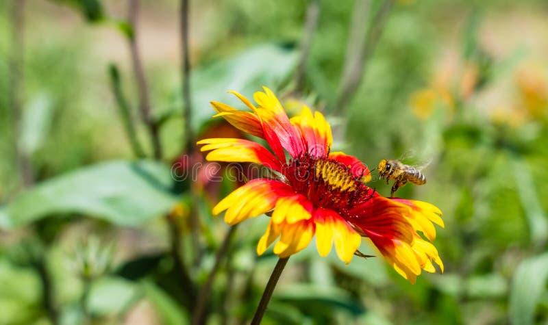 Abeilles et fleur photos libres de droits