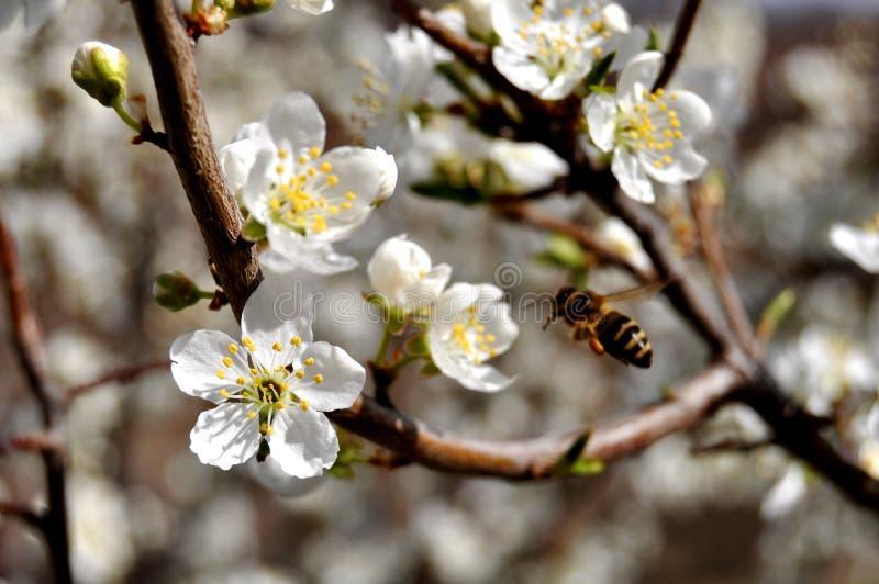 Abeilles et fleur de pomme photo libre de droits
